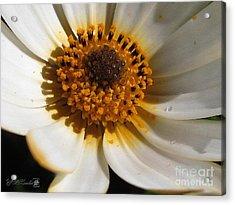 Osteospermum Named African Moon Acrylic Print