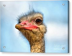 Ostrich Acrylic Print