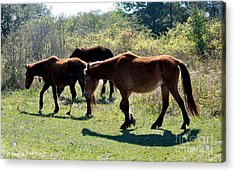 Outer Banks Wild Horses Acrylic Print by Mike Baltzgar