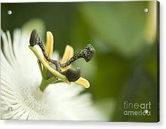 Passion Flower Passiflora Sp Acrylic Print