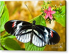 Piano Key Butterfly Acrylic Print by Millard H. Sharp