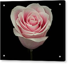 Pink Rose Acrylic Print by Carol Welsh