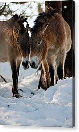 Przewalski's Horse Or Takhi (equus Acrylic Print