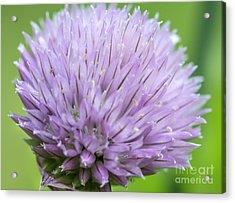 Purple Chive Flower Acrylic Print