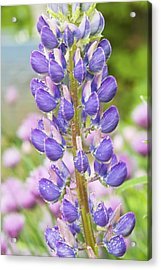 Purple Lupine Flowers Acrylic Print by Keith Webber Jr