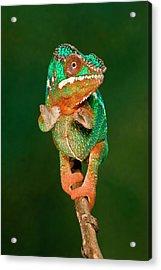 Rainbow Panther Chameleon, Fucifer Acrylic Print by David Northcott