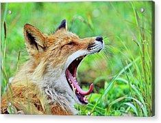 Red Fox (vulpes Vulpes Acrylic Print