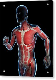 Runner Muscles Acrylic Print by Sciepro/science Photo Library