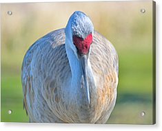Acrylic Print featuring the photograph Sandhill Crane by Kathy King