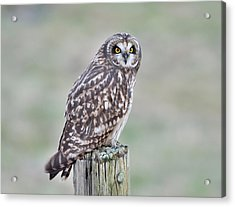 Short-eared Owl Acrylic Print by Kathy King
