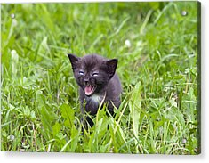 Small Kitten In The Grass Acrylic Print