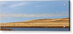 Snow Geese During Spring Migration Acrylic Print