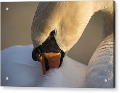 Swan Acrylic Print by Michael Mogensen