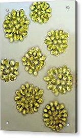 Synura Golden Algae Acrylic Print