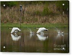 Trumpeter Swans Cygnus Buccinator Acrylic Print by Linda Freshwaters Arndt