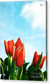 Tulips Background Acrylic Print by Michal Bednarek