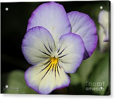 Viola Named Sorbet Lemon Blueberry Swirl Acrylic Print by J McCombie
