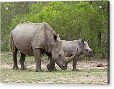 White Rhino And Calf Acrylic Print