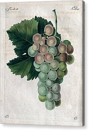 Wine Grapes, Vine, Agriculture, Fruit, Food And Drink Acrylic Print by English School