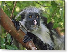 Zanzibar Red Colobus Monkey Acrylic Print by Thomas Marent