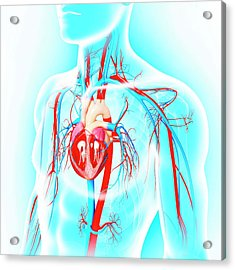 Male Cardiovascular System Acrylic Print by Pixologicstudio/science Photo Library