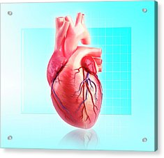 Human Heart Acrylic Print by Pixologicstudio/science Photo Library