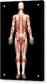 Male Anatomy Acrylic Print by Pixologicstudio/science Photo Library