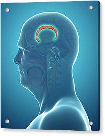 Brain Anatomy Acrylic Print by Pixologicstudio/science Photo Library