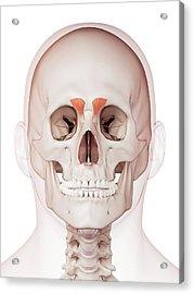 Human Facial Muscles Acrylic Print by Sebastian Kaulitzki/science Photo Library