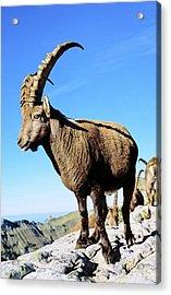 Alpine Ibex (capra Ibex Acrylic Print