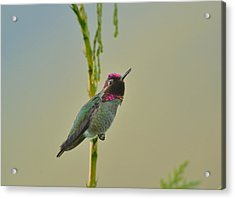 Acrylic Print featuring the photograph Anna's Hummingbird by Kathy King