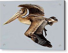 Brown Pelican Acrylic Print by Paulette Thomas