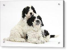 Cavapoo Puppies Acrylic Print by Mark Taylor