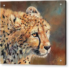 Cheetah Acrylic Print by David Stribbling