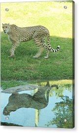 Cheetah Acrylic Print by Tinjoe Mbugus