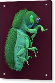 Coffee Berry Borer Acrylic Print by Dennis Kunkel Microscopy/science Photo Library
