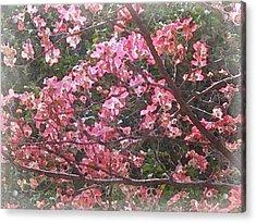 Cornus Florida In Bloom Acrylic Print by Philip White