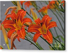 Day Lilly Acrylic Print by William Norton