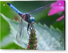Dragonfly Blue Dasher Acrylic Print