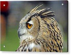 European Eagle Owl Acrylic Print by Tony Murtagh