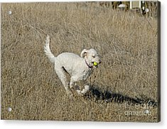 Goldendoodle Running Acrylic Print by William H. Mullins