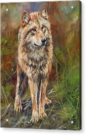 Grey Wolf Acrylic Print by David Stribbling