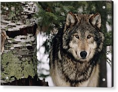 Grey Wolf Acrylic Print by William Ervin/science Photo Library