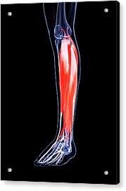 Human Calf Muscles Acrylic Print by Sebastian Kaulitzki
