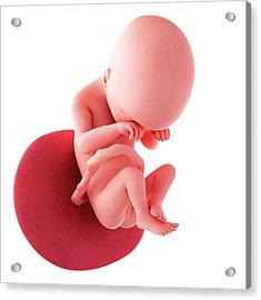 Human Fetus Age 19 Weeks Acrylic Print by Sebastian Kaulitzki/science Photo Library