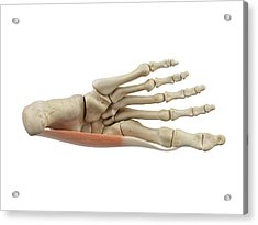 Human Foot Muscles Acrylic Print by Sciepro