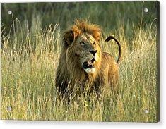 King Of The Savanna Acrylic Print