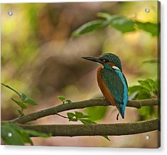 Kingfisher Acrylic Print by Paul Scoullar
