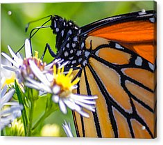 Monarch Butterfly Acrylic Print by Brian Stevens