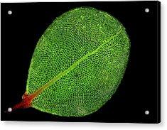 Moss Leaf Acrylic Print by John Durham